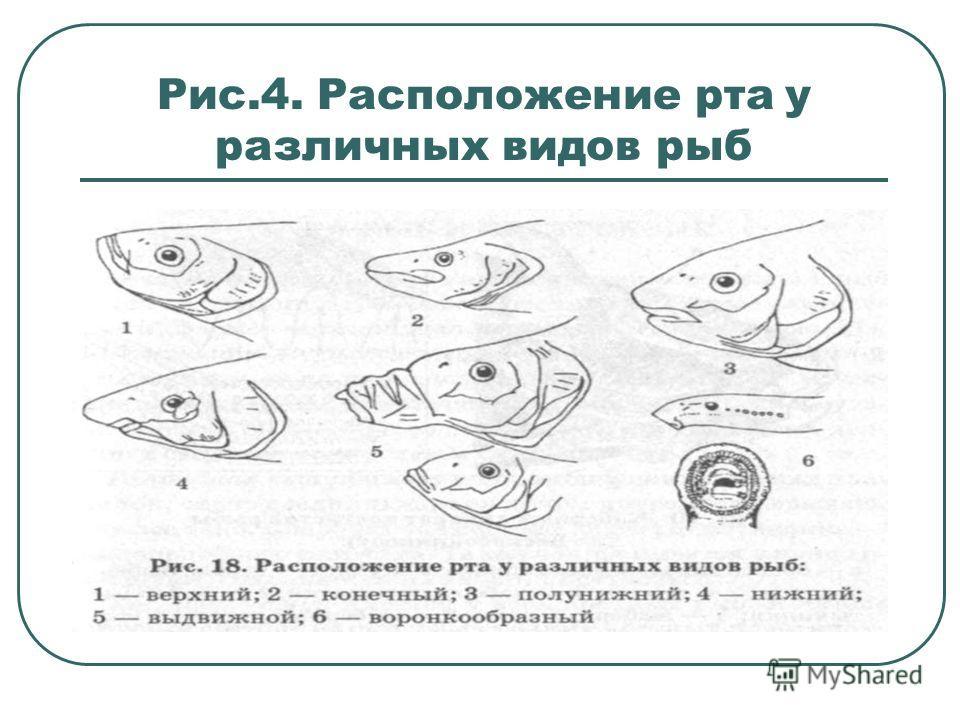 Рис.4. Расположение рта у различных видов рыб