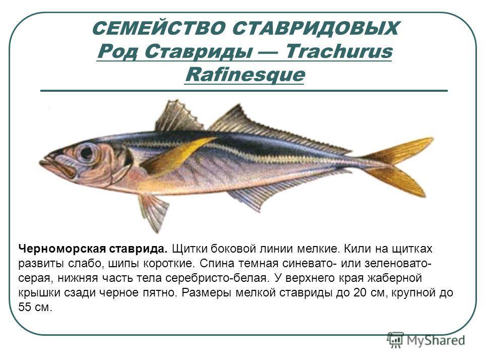 СЕМЕЙСТВО СТАВРИДОВЫХ Род Ставриды Trachurus Rafinesque Черноморская ставрида. Щитки боковой линии мелкие. Кили на щитках развиты слабо, шипы короткие. Спина темная синевато- или зеленовато- серая, нижняя часть тела серебристо-белая. У верхнего края