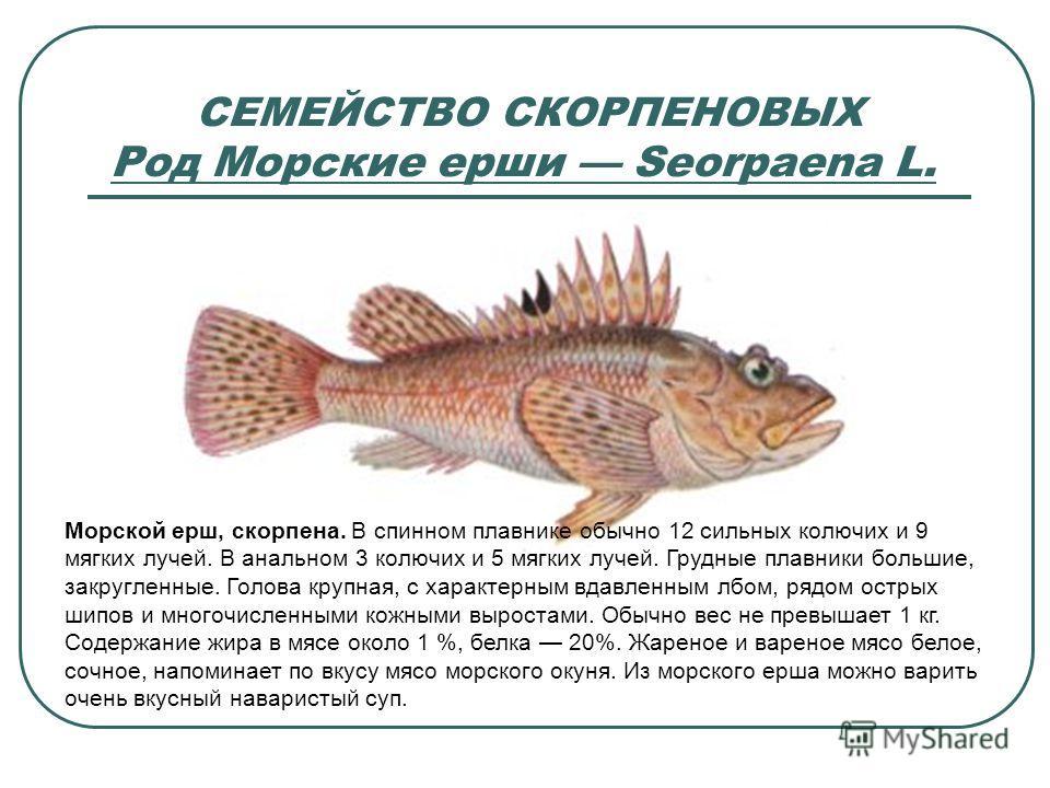 СЕМЕЙСТВО СКОРПЕНОВЫХ Род Морские ерши Seorpaena L. Морской ерш, скорпена. В спинном плавнике обычно 12 сильных колючих и 9 мягких лучей. В анальном 3 колючих и 5 мягких лучей. Грудные плавники большие, закругленные. Голова крупная, с характерным вда