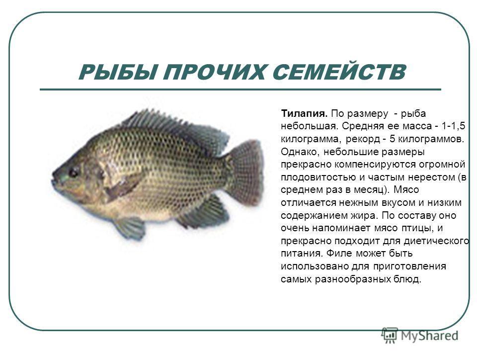 РЫБЫ ПРОЧИХ СЕМЕЙСТВ Тилапия. По размеру - рыба небольшая. Средняя ее масса - 1-1,5 килограмма, рекорд - 5 килограммов. Однако, небольшие размеры прекрасно компенсируются огромной плодовитостью и частым нерестом (в среднем раз в месяц). Мясо отличает