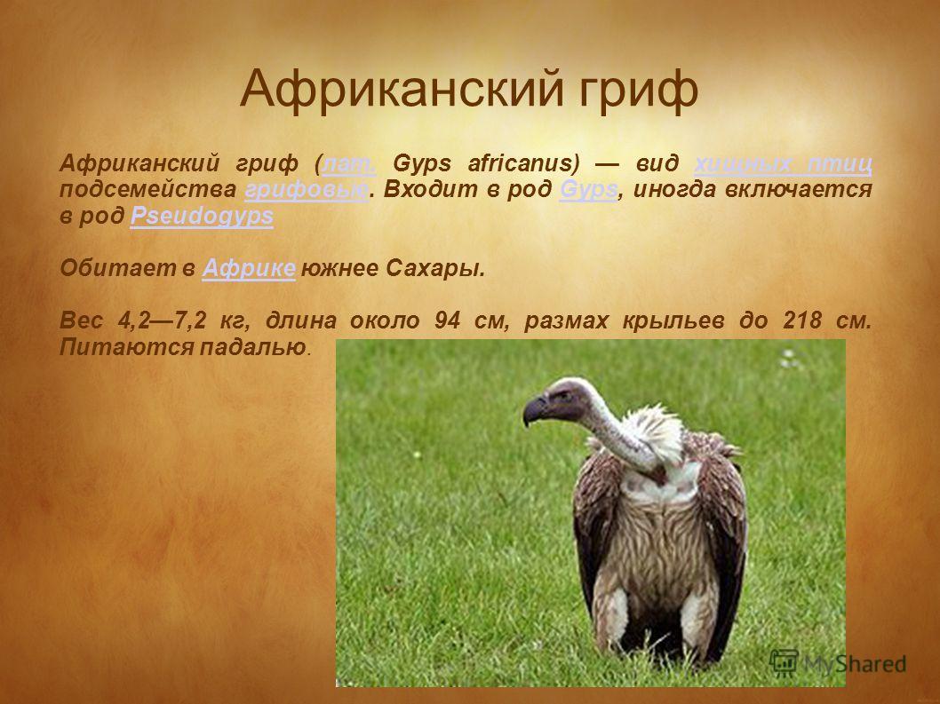 Африканский гриф Африканский гриф (лат. Gyps africanus) вид хищных птиц подсемейства грифовые. Входит в род Gyps, иногда включается в род Pseudogypsлат.хищных птицгрифовыеGypsPseudogyps Обитает в Африке южнее Сахары.Африке Вес 4,27,2 кг, длина около