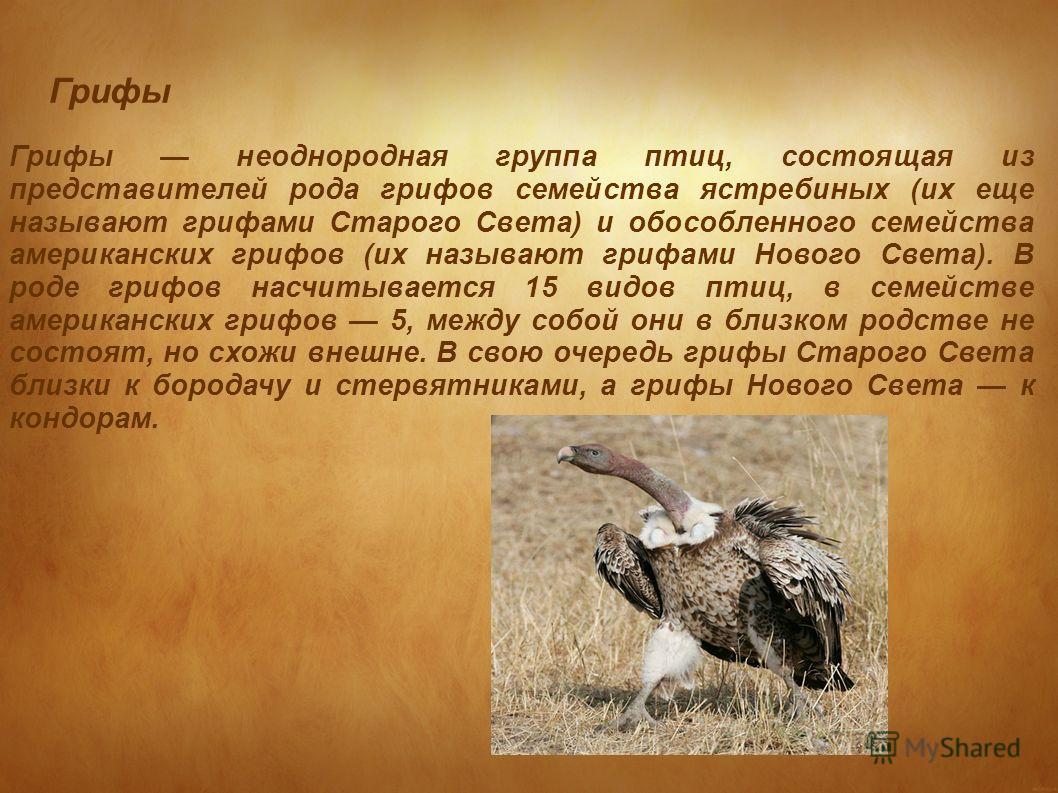 Грифы Грифы неоднородная группа птиц, состоящая из представителей рода грифов семейства ястребиных (их еще называют грифами Старого Света) и обособленного семейства американских грифов (их называют грифами Нового Света). В роде грифов насчитывается 1