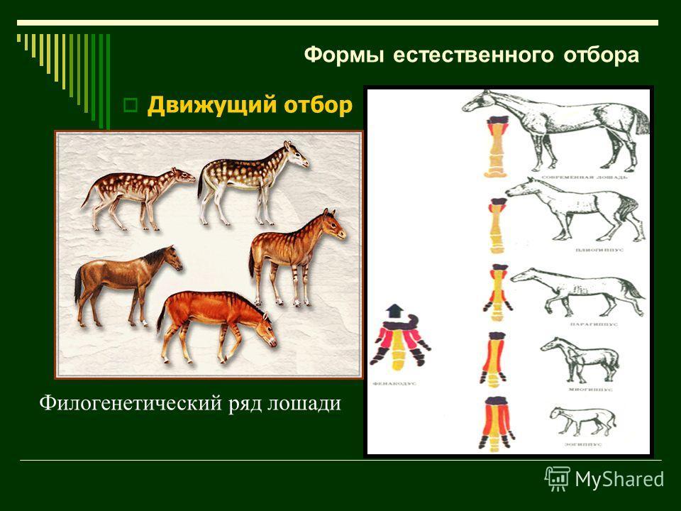 Филогенетический ряд лошади Формы естественного отбора Движущий отбор