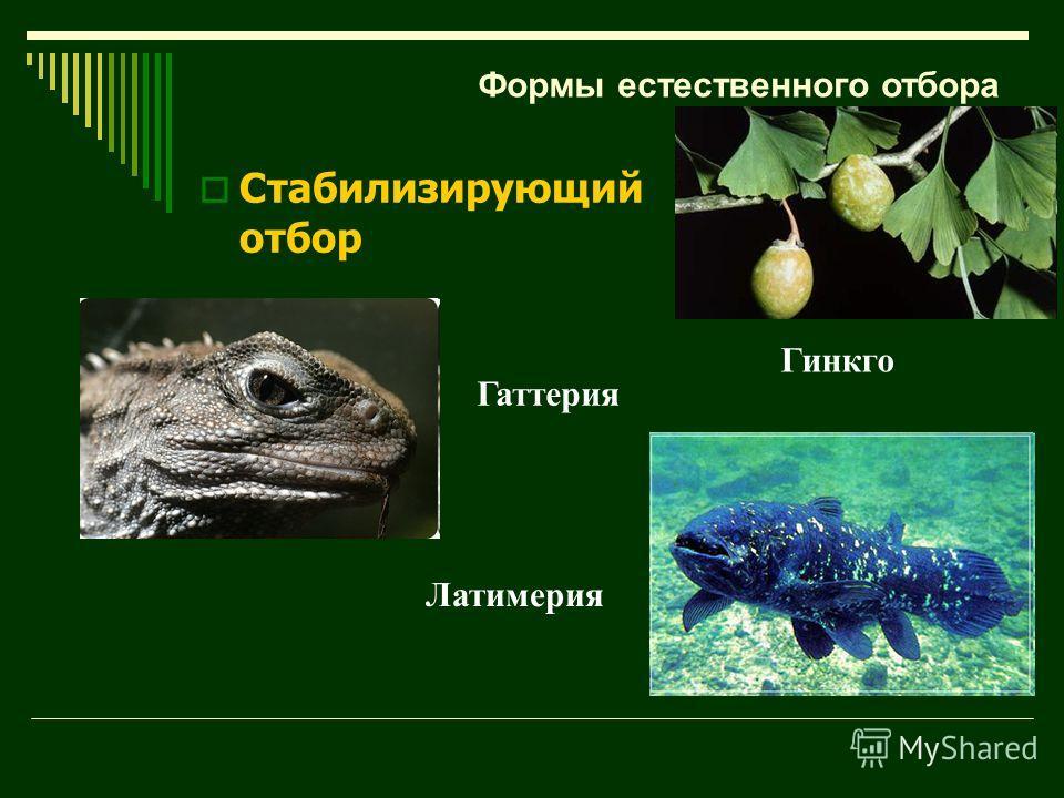 Гаттерия Гинкго Латимерия Формы естественного отбора Стабилизирующий отбор