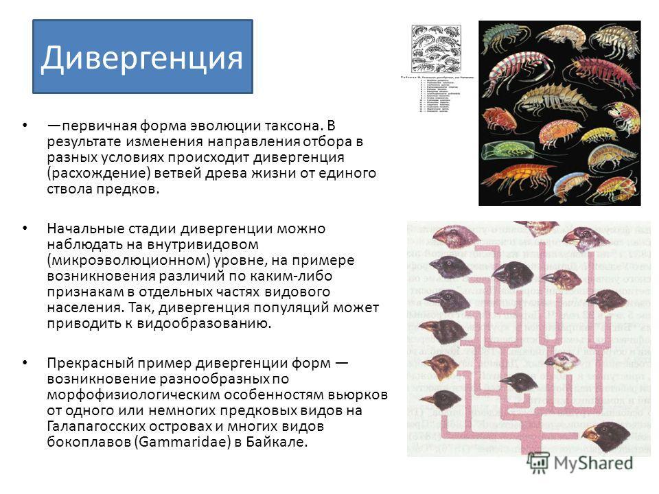 Дивергенция первичная форма эволюции таксона. В результате изменения направления отбора в разных условиях происходит дивергенция (расхождение) ветвей древа жизни от единого ствола предков. Начальные стадии дивергенции можно наблюдать на внутривидовом