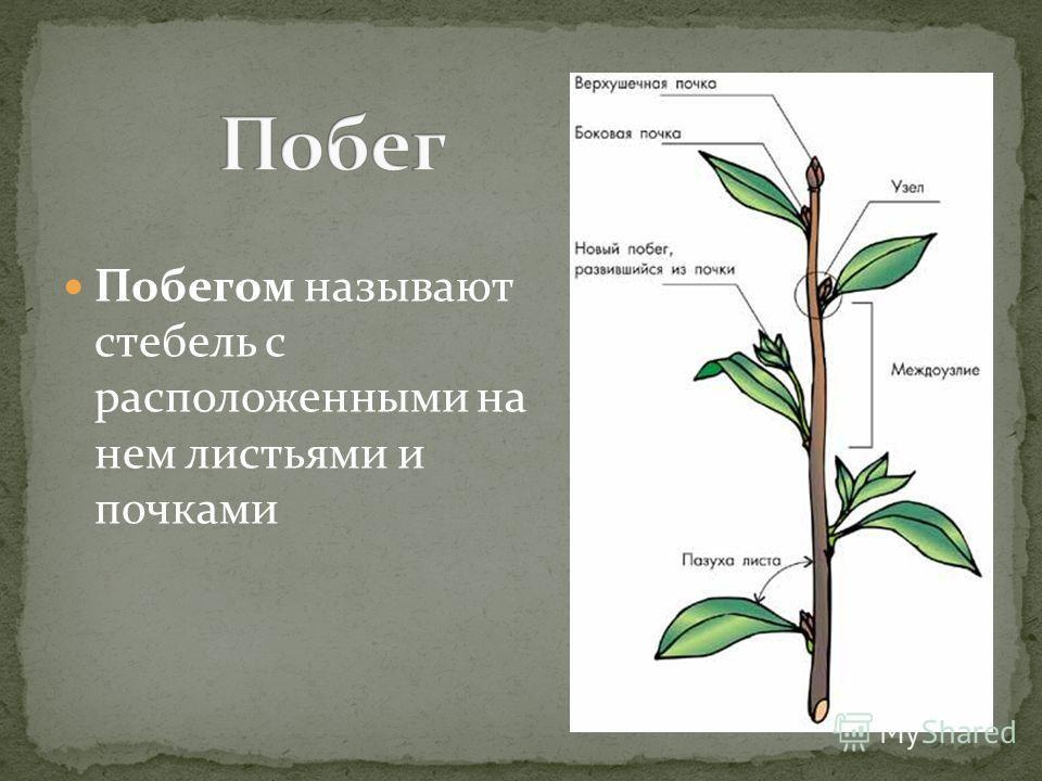 Побегом называют стебель с расположенными на нем листьями и почками