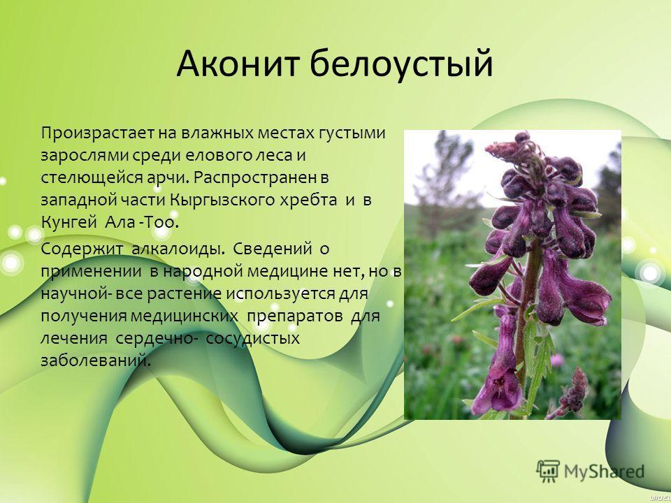 Аконит белоустый Произрастает на влажных местах густыми зарослями среди елового леса и стелющейся арчи. Распространен в западной части Кыргызского хребта и в Кунгей Ала -Тоо. Содержит алкалоиды. Сведений о применении в народной медицине нет, но в нау