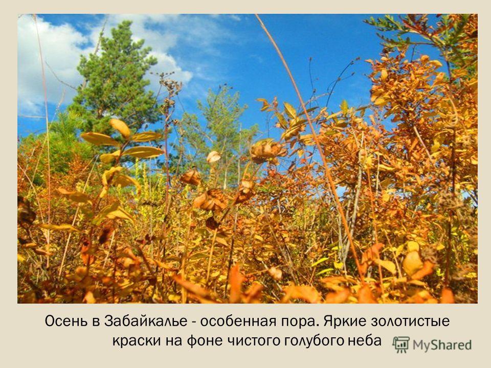 Осень в Забайкалье - особенная пора. Яркие золотистые краски на фоне чистого голубого неба