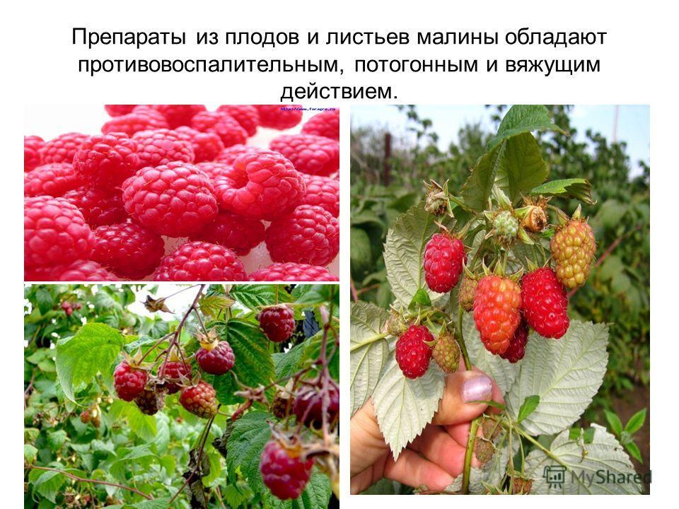 Препараты из плодов и листьев малины обладают противовоспалительным, потогонным и вяжущим действием.
