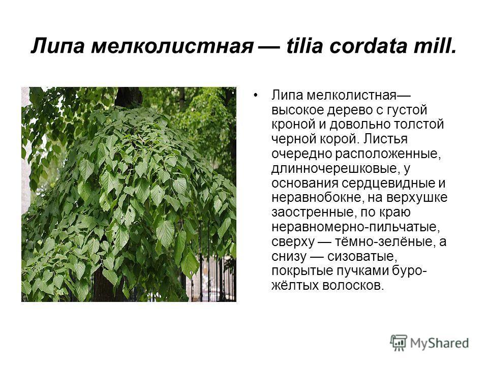 Липа мелколистная tilia cordata mill. Липа мелколистная высокое дерево с густой кроной и довольно толстой черной корой. Листья очередно расположенные, длинночерешковые, у основания сердцевидные и неравнобокне, на верхушке заостренные, по краю неравно