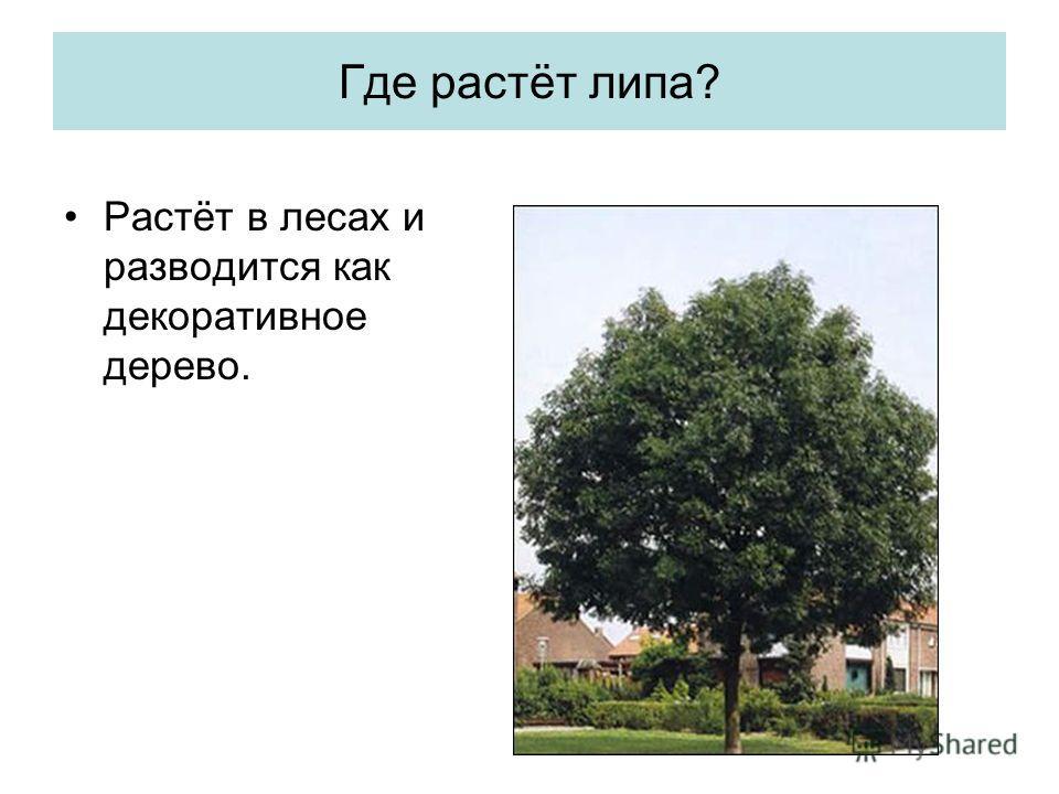 Где растёт липа? Растёт в лесах и разводится как декоративное дерево.