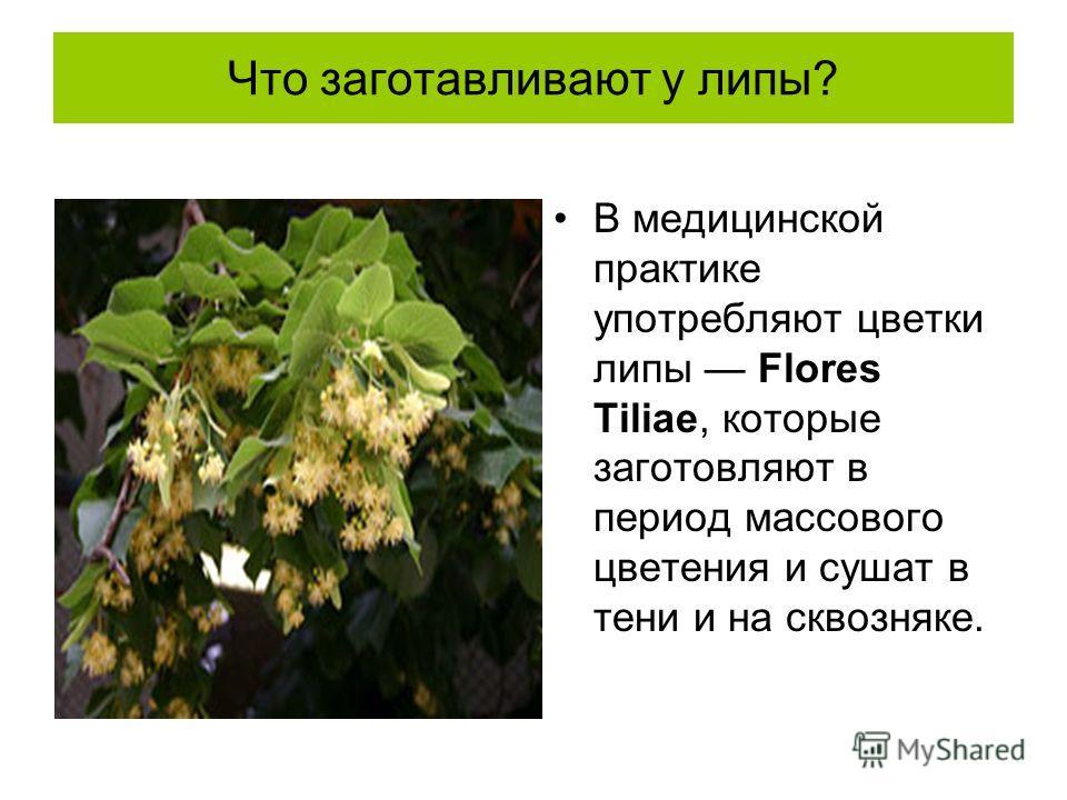 Что заготавливают у липы? В медицинской практике употребляют цветки липы Flores Tiliae, которые заготовляют в период массового цветения и сушат в тени и на сквозняке.