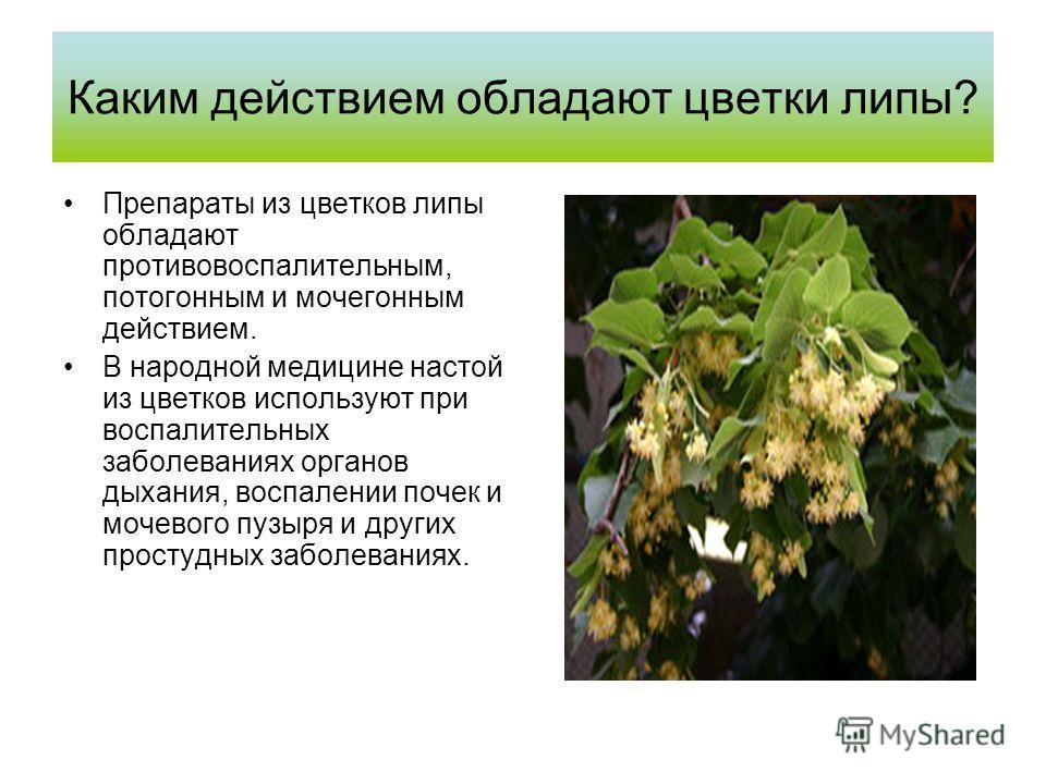 Каким действием обладают цветки липы? Препараты из цветков липы обладают противовоспалительным, потогонным и мочегонным действием. В народной медицине настой из цветков используют при воспалительных заболеваниях органов дыхания, воспалении почек и мо