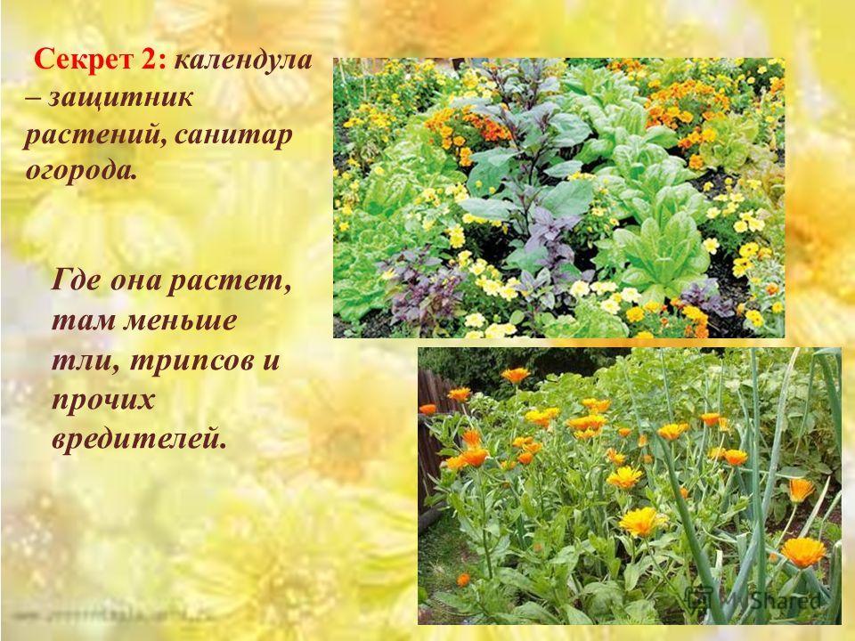 Секрет 2: календула – защитник растений, санитар огорода. Где она растет, там меньше тли, трипсов и прочих вредителей.
