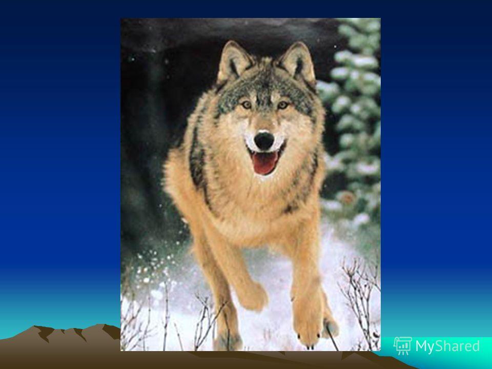 Игра «Подбери слова-признаки» Волк (какой?) – Лиса Рысь Медведь Ёж Олень Заяц Задавая вопрос, нажимать на название животного