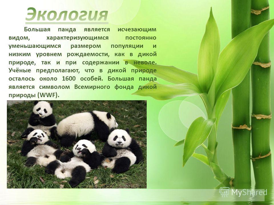3 Большая панда является исчезающим видом, характеризующимся постоянно уменьшающимся размером популяции и низким уровнем рождаемости, как в дикой природе, так и при содержании в неволе. Учёные предполагают, что в дикой природе осталось около 1600 осо
