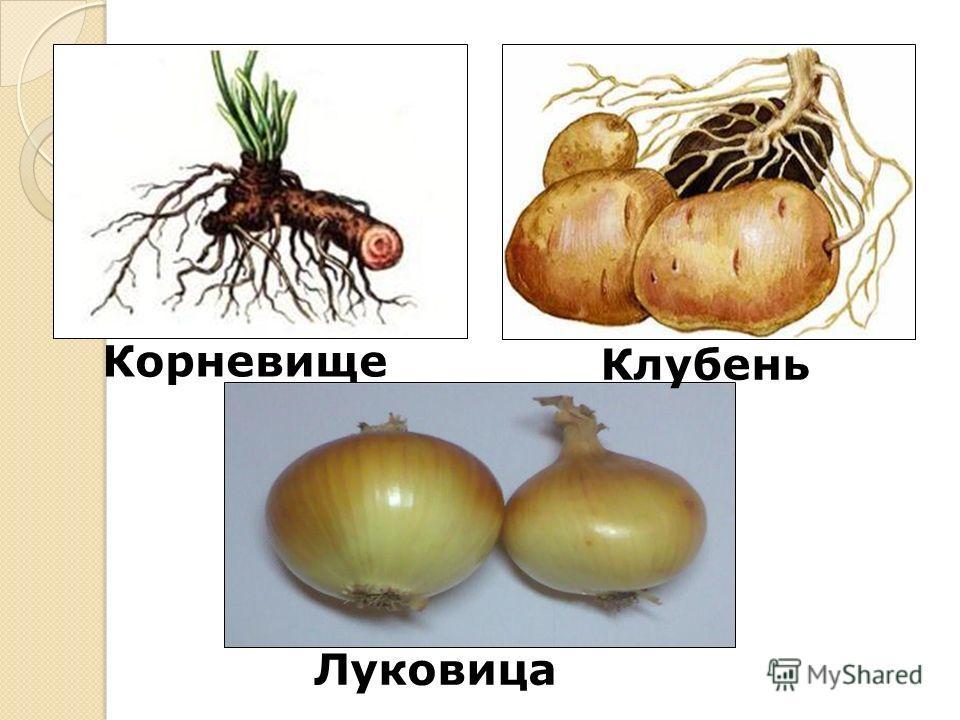 Луковица Корневище Клубень