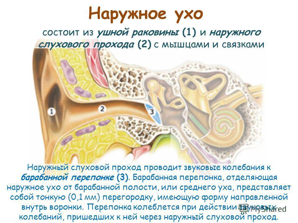Наружное ухо состоит из ушной раковины (1) и наружного слухового прохода (2) с мышцами и связками Наружный слуховой проход проводит звуковые колебания к барабанной перепонке (3). Барабанная перепонка, отделяющая наружное ухо от барабанной полости, ил