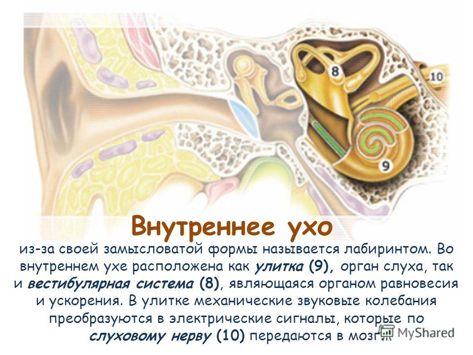 Внутреннее ухо из-за своей замысловатой формы называется лабиринтом. Во внутреннем ухе расположена как улитка (9), орган слуха, так и вестибулярная система (8), являющаяся органом равновесия и ускорения. В улитке механические звуковые колебания преоб