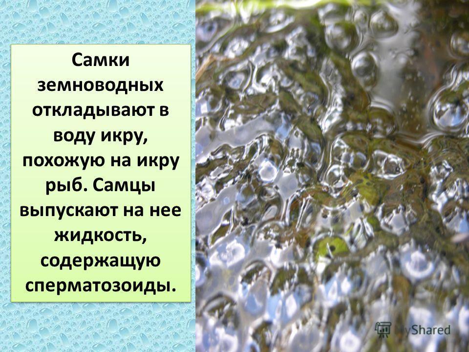 Самки земноводных откладывают в воду икру, похожую на икру рыб. Самцы выпускают на нее жидкость, содержащую сперматозоиды.