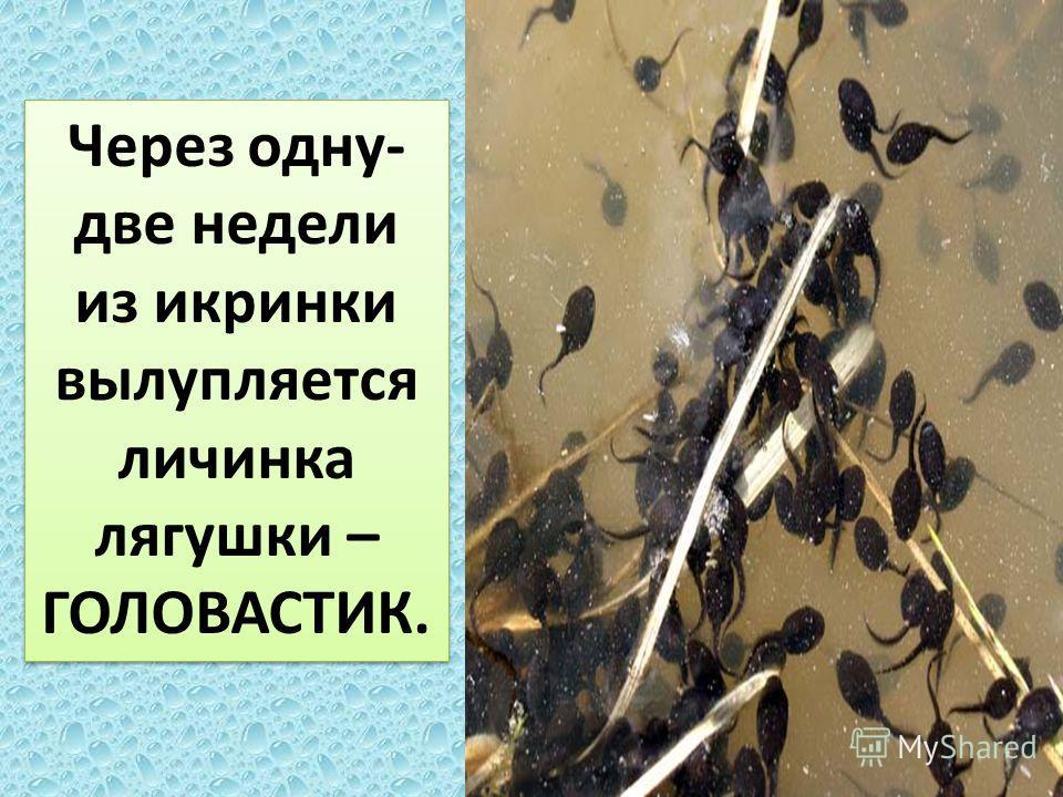 Через одну- две недели из икринки вылупляется личинка лягушки – ГОЛОВАСТИК.