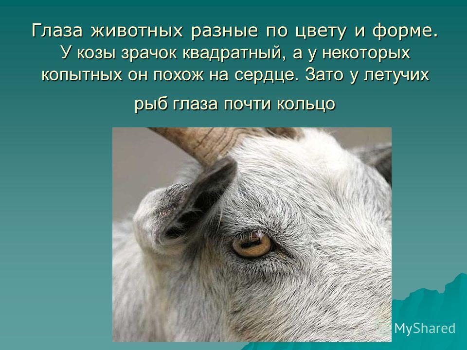 Глаза животных разные по цвету и форме. У козы зрачок квадратный, а у некоторых копытных он похож на сердце. Зато у летучих рыб глаза почти кольцо