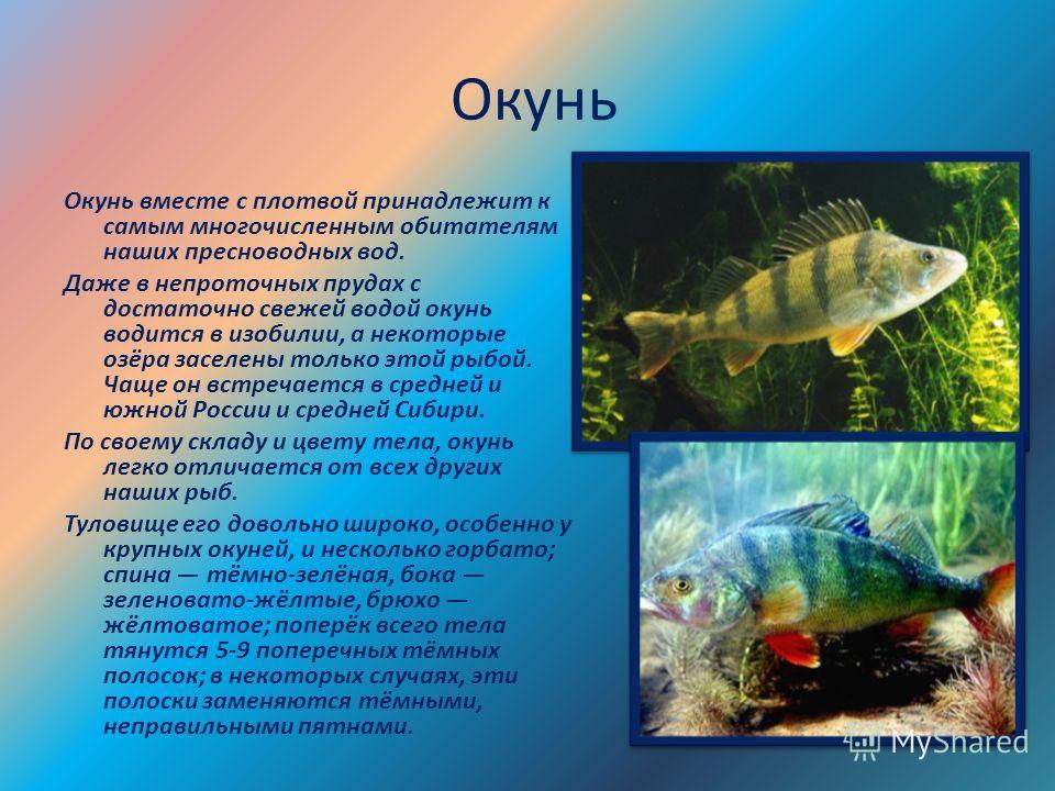 Окунь Окунь вместе с плотвой принадлежит к самым многочисленным обитателям наших пресноводных вод. Даже в непроточных прудах с достаточно свежей водой окунь водится в изобилии, а некоторые озёра заселены только этой рыбой. Чаще он встречается в средн