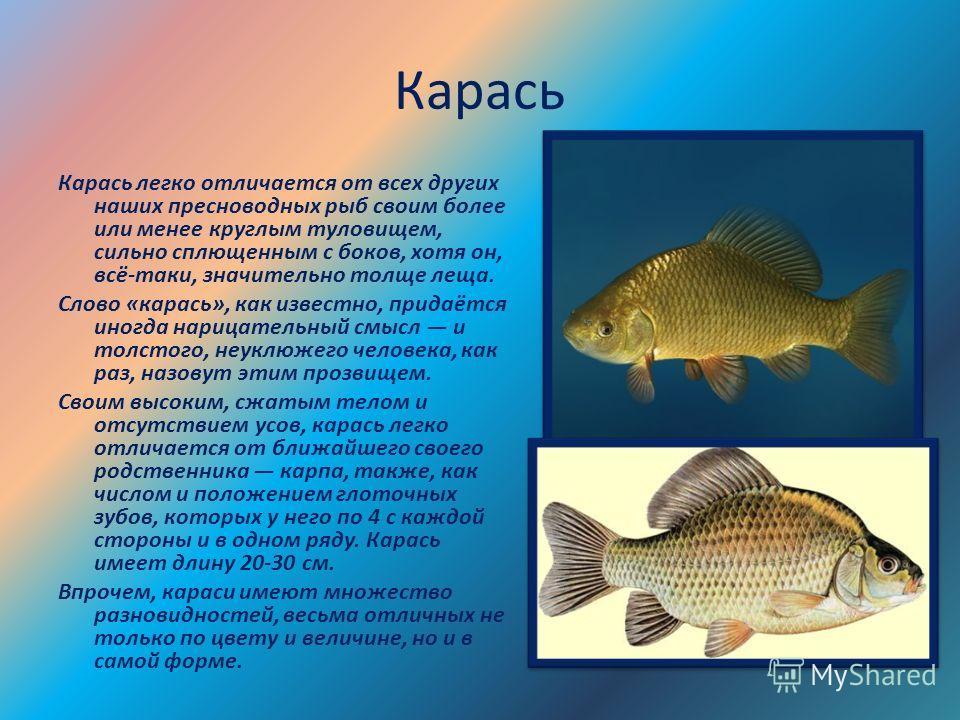 Карась Карась легко отличается от всех других наших пресноводных рыб своим более или менее круглым туловищем, сильно сплющенным с боков, хотя он, всё-таки, значительно толще леща. Слово «карась», как известно, придаётся иногда нарицательный смысл и т