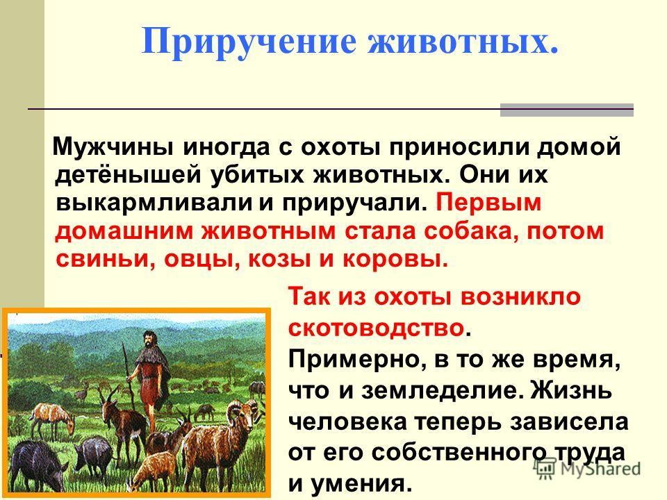 Приручение животных. Мужчины иногда с охоты приносили домой детёнышей убитых животных. Они их выкармливали и приручали. Первым домашним животным стала собака, потом свиньи, овцы, козы и коровы. Так из охоты возникло скотоводство. Примерно, в то же вр