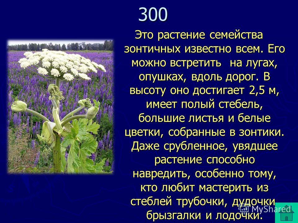 Это растение семейства зонтичных известно всем. Его можно встретить на лугах, опушках, вдоль дорог. В высоту оно достигает 2,5 м, имеет полый стебель, большие листья и белые цветки, собранные в зонтики. Даже срубленное, увядшее растение способно навр