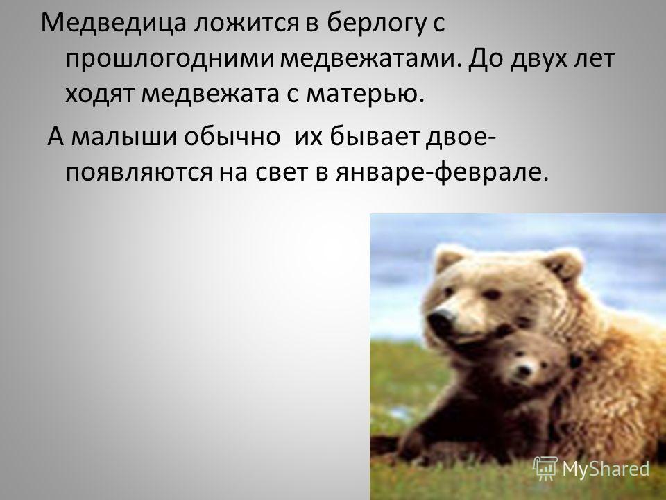 Медведица ложится в берлогу с прошлогодними медвежатами. До двух лет ходят медвежата с матерью. А малыши обычно их бывает двое- появляются на свет в январе-феврале.