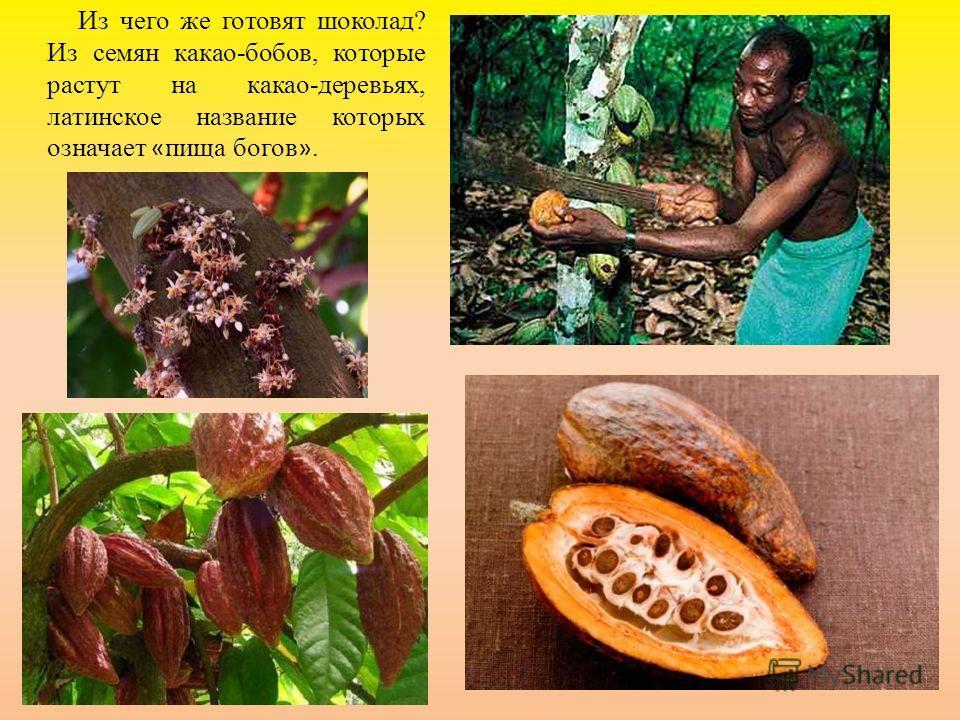 Из чего же готовят шоколад? Из семян какао-бобов, которые растут на какао-деревьях, латинское название которых означает « пища богов ».