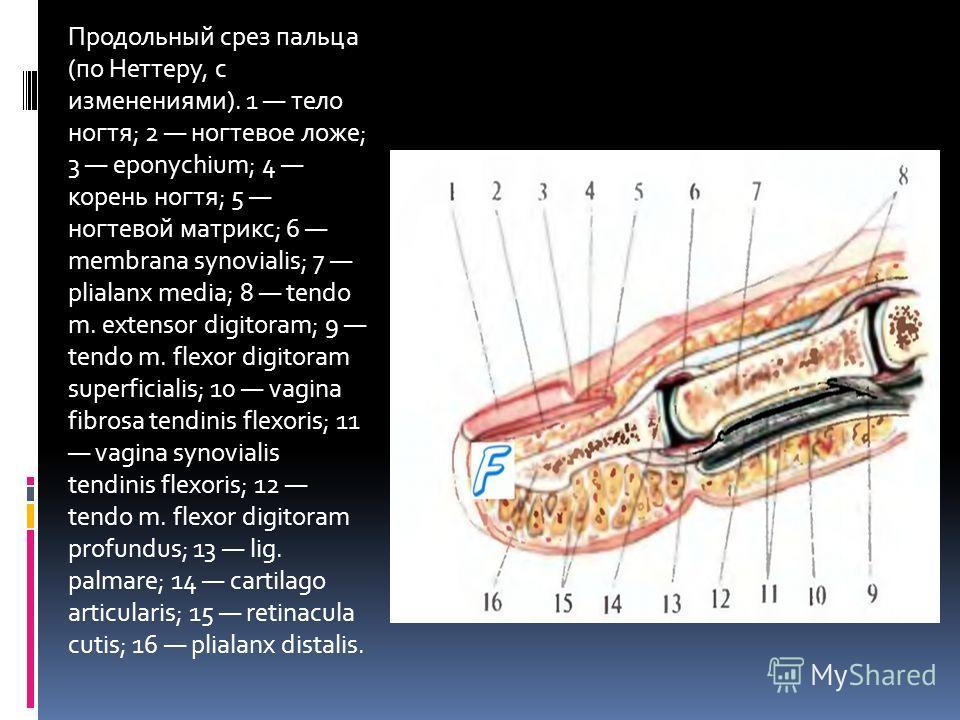 Продольный срез пальца (по Неттеру, с изменениями). 1 тело ногтя; 2 ногтевое ложе; 3 eponychium; 4 корень ногтя; 5 ногтевой матрикс; 6 membrana synovialis; 7 plialanx media; 8 tendo m. extensor digitoram; 9 tendo m. flexor digitoram superficialis; 10