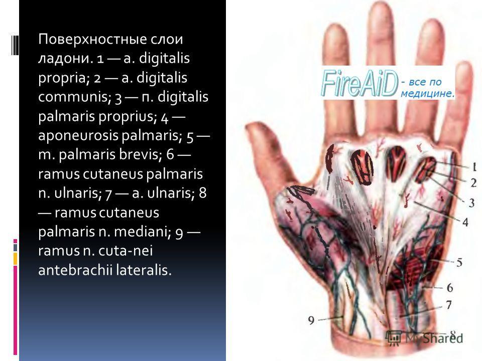 Поверхностные слои ладони. 1 a. digitalis propria; 2 a. digitalis communis; 3 п. digitalis palmaris proprius; 4 aponeurosis palmaris; 5 m. palmaris brevis; 6 ramus cutaneus palmaris n. ulnaris; 7 a. ulnaris; 8 ramus cutaneus palmaris n. mediani; 9 ra