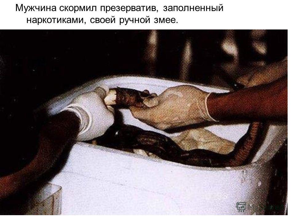 Мужчина скормил презерватив, заполненный наркотиками, своей ручной змее.