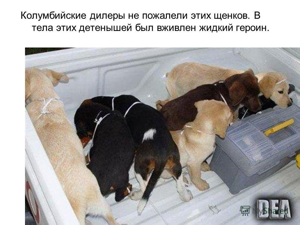 Колумбийские дилеры не пожалели этих щенков. В тела этих детенышей был вживлен жидкий героин.
