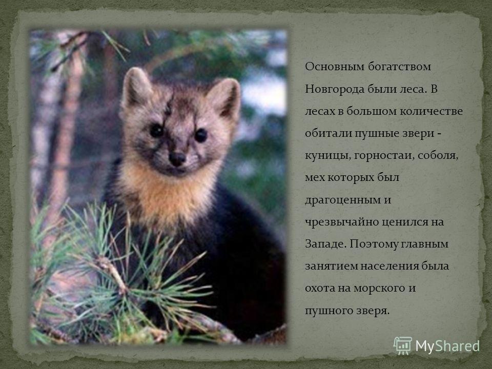 Основным богатством Новгорода были леса. В лесах в большом количестве обитали пушные звери - куницы, горностаи, соболя, мех которых был драгоценным и чрезвычайно ценился на Западе. Поэтому главным занятием населения была охота на морского и пушного з