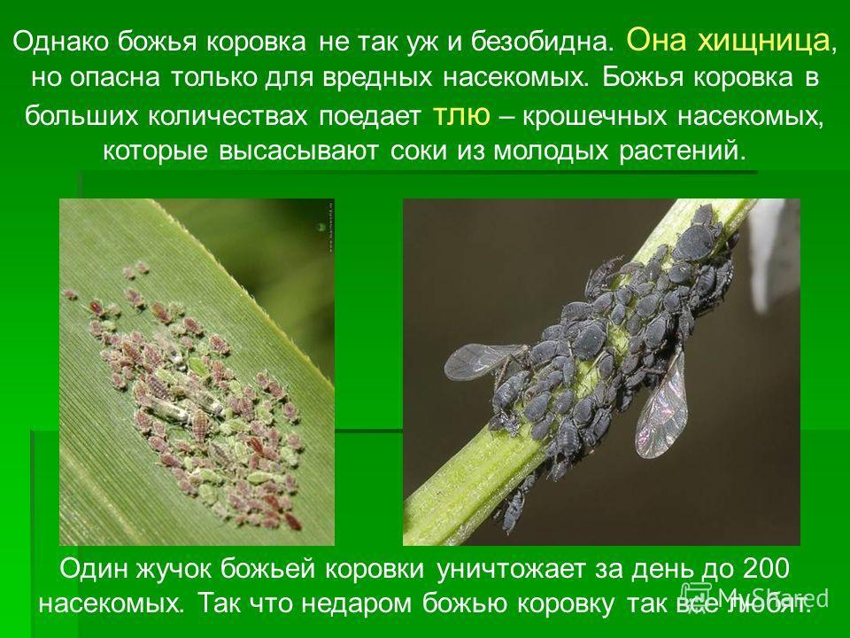 Однако божья коровка не так уж и безобидна. Она хищница, но опасна только для вредных насекомых. Божья коровка в больших количествах поедает тлю – крошечных насекомых, которые высасывают соки из молодых растений. Один жучок божьей коровки уничтожает
