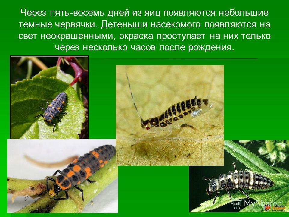 Через пять-восемь дней из яиц появляются небольшие темные червячки. Детеныши насекомого появляются на свет неокрашенными, окраска проступает на них только через несколько часов после рождения.