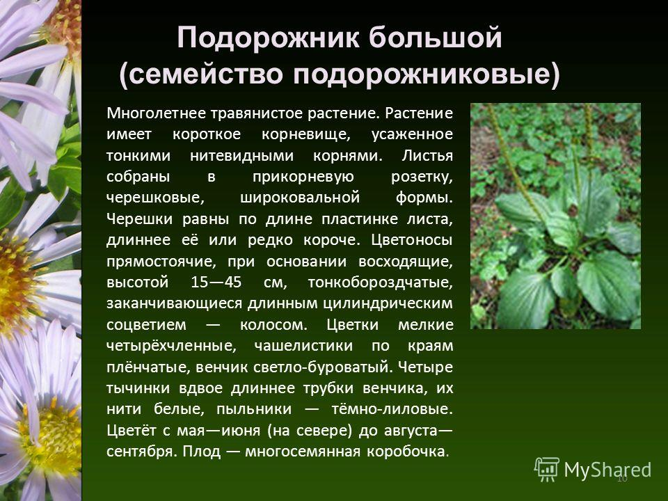Многолетнее травянистое растение. Растение имеет короткое корневище, усаженное тонкими нитевидными корнями. Листья собраны в прикорневую розетку, черешковые, широковальной формы. Черешки равны по длине пластинке листа, длиннее её или редко короче. Цв