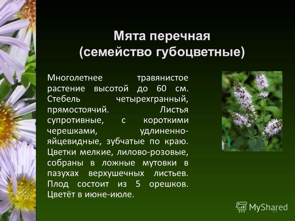 Мята перечная (семейство губоцветные) Многолетнее травянистое растение высотой до 60 см. Стебель четырехгранный, прямостоячий. Листья супротивные, с короткими черешками, удлиненно- яйцевидные, зубчатые по краю. Цветки мелкие, лилово-розовые, собраны