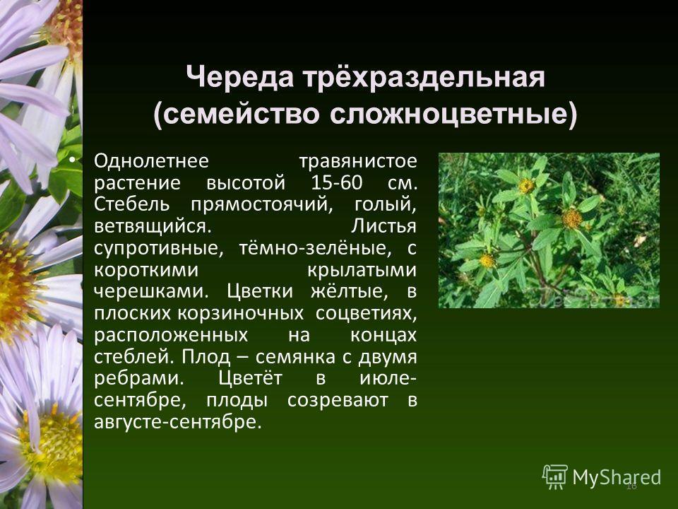 Череда трёхраздельная (семейство сложноцветные) Однолетнее травянистое растение высотой 15-60 см. Стебель прямостоячий, голый, ветвящийся. Листья супротивные, тёмно-зелёные, с короткими крылатыми черешками. Цветки жёлтые, в плоских корзиночных соцвет