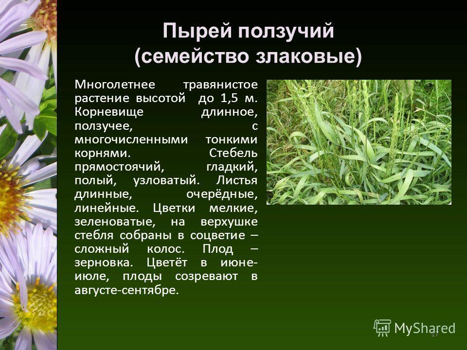 Пырей ползучий (семейство злаковые) Многолетнее травянистое растение высотой до 1,5 м. Корневище длинное, ползучее, с многочисленными тонкими корнями. Стебель прямостоячий, гладкий, полый, узловатый. Листья длинные, очерёдные, линейные. Цветки мелкие