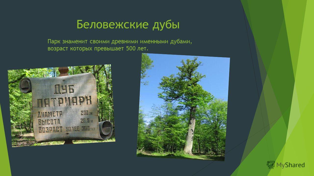 Беловежские дубы Парк знаменит своими древними именными дубами, возраст которых превышает 500 лет.