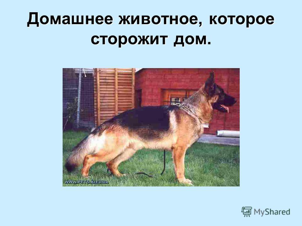 Домашнее животное, которое сторожит дом Домашнее животное, которое сторожит дом.