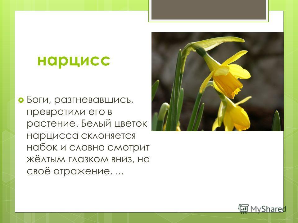 нарцисс Боги, разгневавшись, превратили его в растение. Белый цветок нарцисса склоняется набок и словно смотрит жёлтым глазком вниз, на своё отражение....