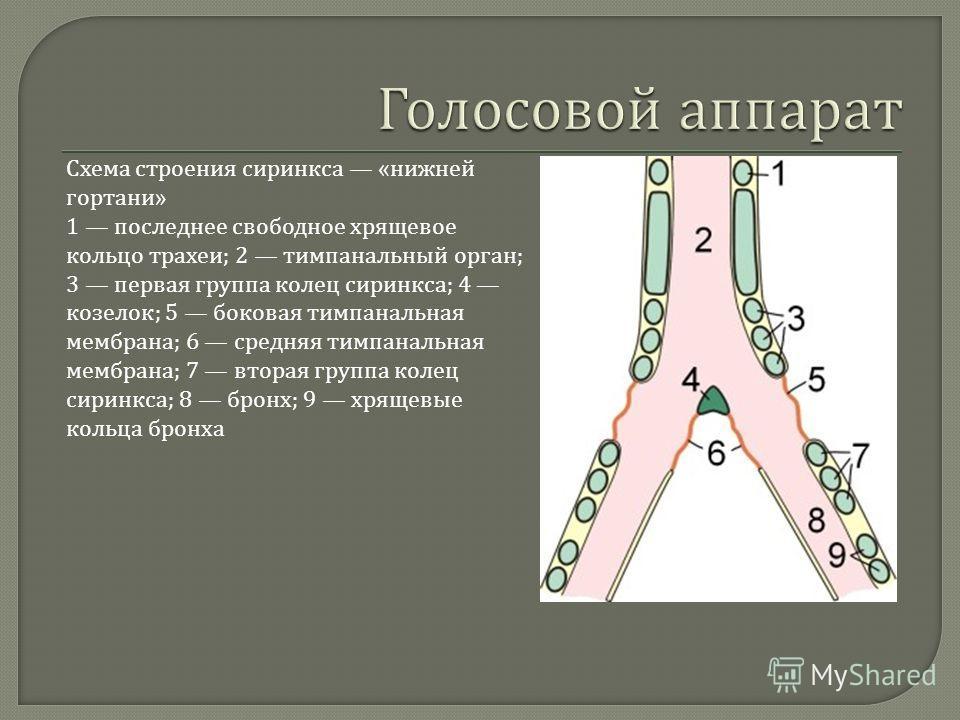 Схема строения сиринкса « нижней гортани » 1 последнее свободное хрящевое кольцо трахеи ; 2 тимпанальный орган ; 3 первая группа колец сиринкса ; 4 козелок ; 5 боковая тимпанальная мембрана ; 6 средняя тимпанальная мембрана ; 7 вторая группа колец си