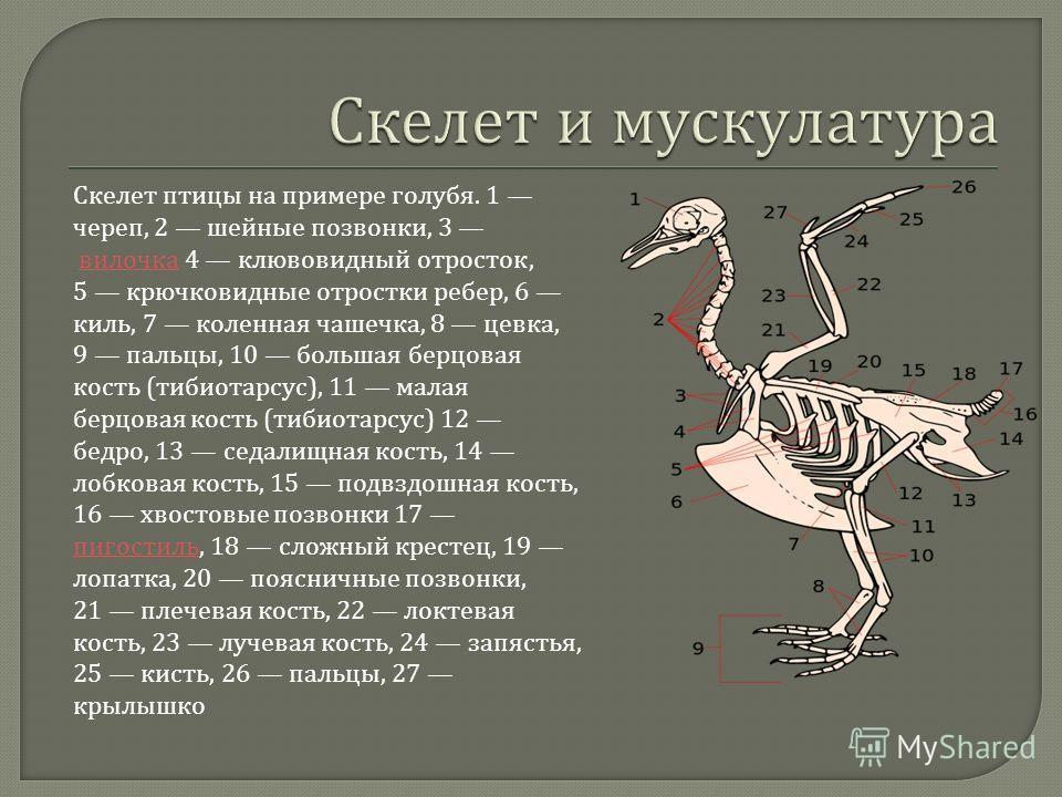 Скелет птицы на примере голубя. 1 череп, 2 шейные позвонки, 3 вилочка 4 клювовидный отросток, 5 крючковидные отростки ребер, 6 киль, 7 коленная чашечка, 8 цевка, 9 пальцы, 10 большая берцовая кость ( тибиотарсус ), 11 малая берцовая кость ( тибиотарс