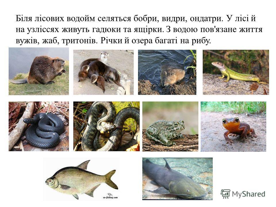 Біля лісових водойм селяться бойбры, видри, ондатры. У лісі й на узліссях живуть гадюки та ящірки. З водою пов'язане життя вужів, жаб, тритонів. Річки й озера багаті на рыбу.