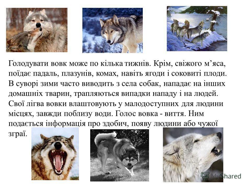 Голодувати вовк можеттт по кілька тижнів. Крім, свіжого мяса, поїдає падаль, плазунів, комах, навіть ягоды і соковиті плоди. В суворі зимы часто выводить з села собак, нападає на інших домашніх тварин, трапляються випадки нападу і на людей. Свої лігв